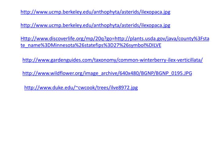 http://www.ucmp.berkeley.edu/anthophyta/asterids/ilexopaca.jpg