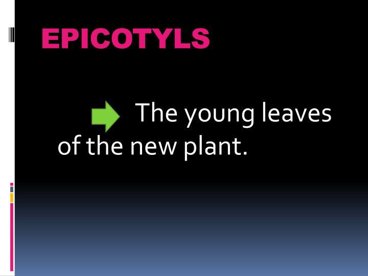 EPICOTYLS
