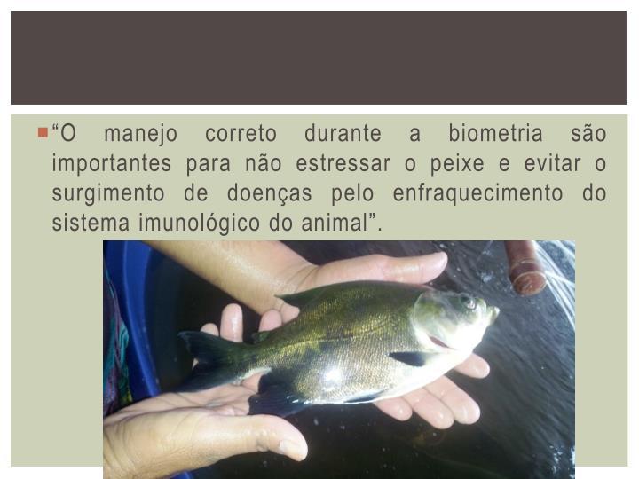 """""""O manejo correto durante a biometria são importantes para não estressar o peixe e evitar o surgimento de doenças pelo enfraquecimento do sistema imunológico do animal"""
