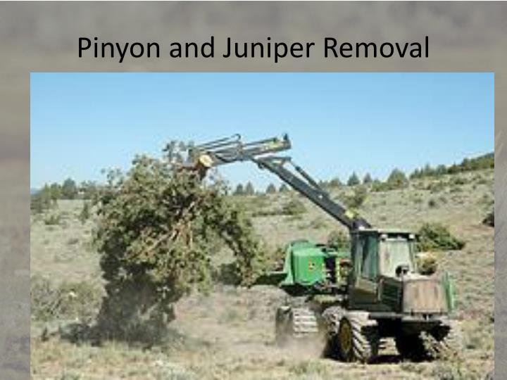 Pinyon