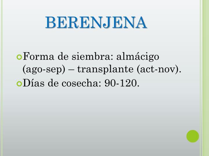 BERENJENA