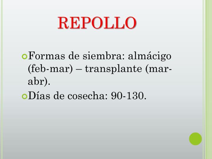 REPOLLO