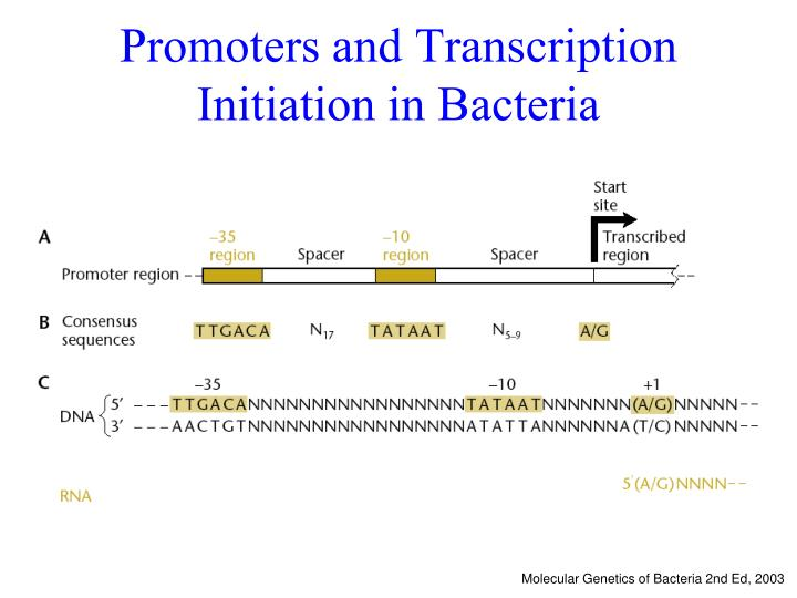 Promoters and Transcription Initiation in Bacteria