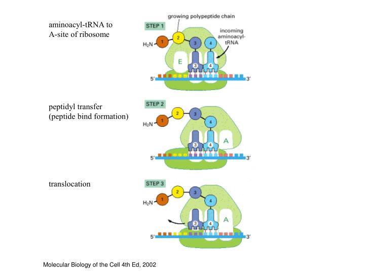 aminoacyl-tRNA to