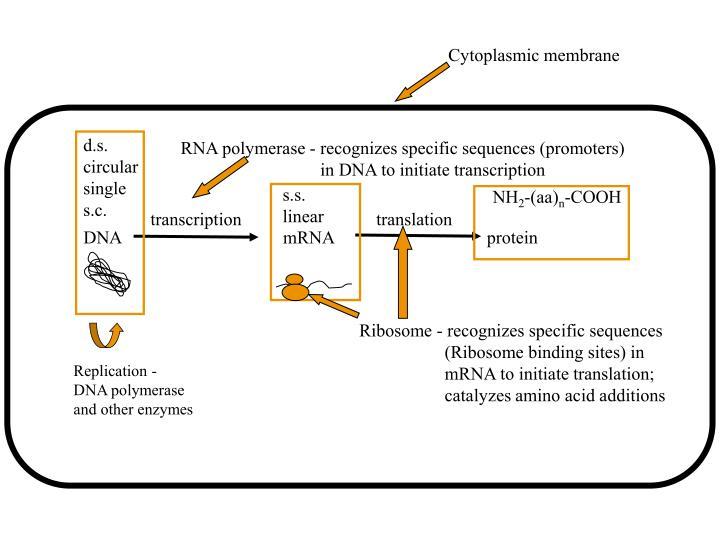 Cytoplasmic membrane