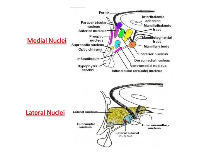 Medial Nuclei