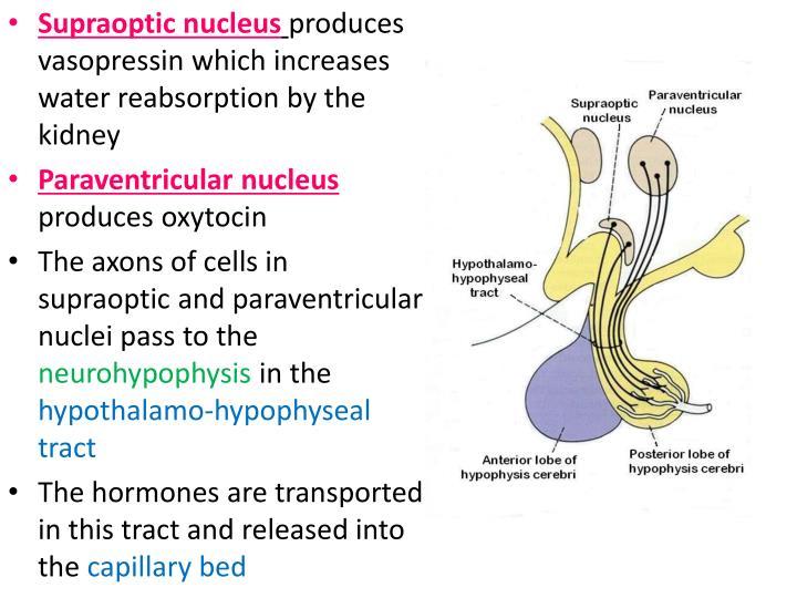 Supraoptic