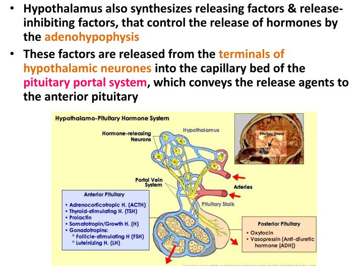 Hypothalamus also synthesizes releasing factors & release-inhibiting factors, that control the release of hormones by the