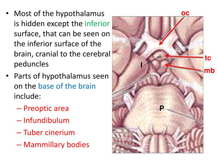 Most of the hypothalamus is hidden except the