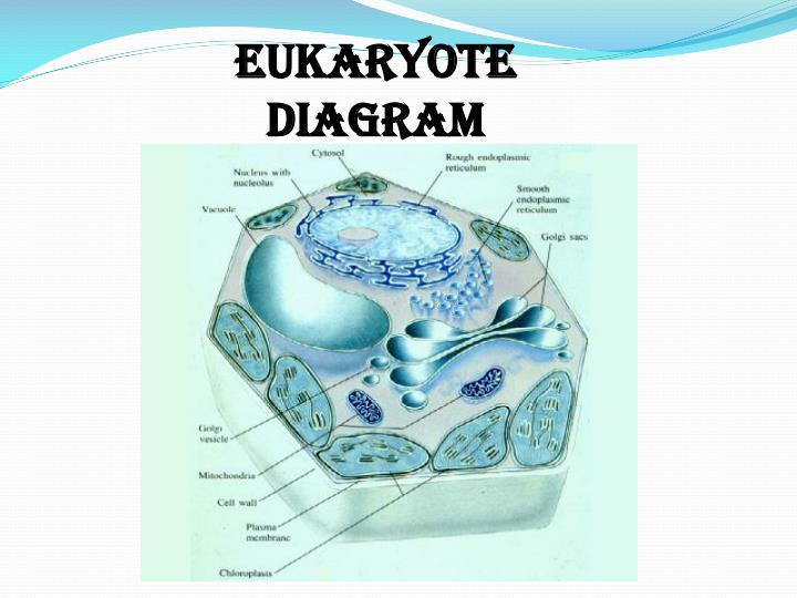 EUKARYOTE Diagram