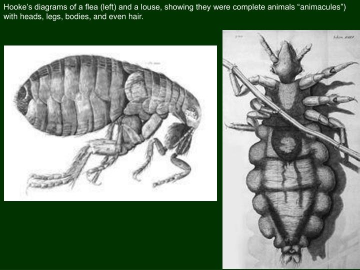 Hooke's diagrams of a flea (left) and a louse, showing they were complete animals ""