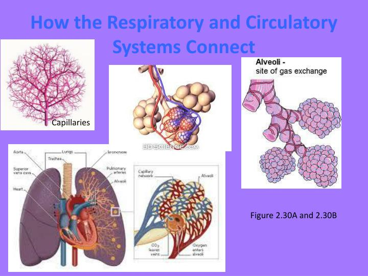 How the Respiratory and Circulatory Systems Connect