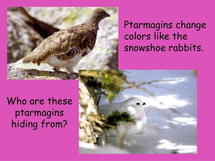 Ptarmagins change colors like the snowshoe rabbits.