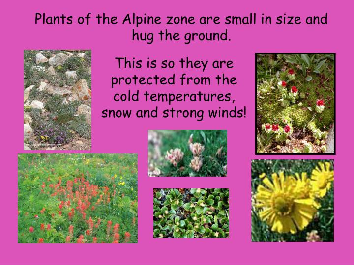 Plants of the Alpine zone are small in size and hug the ground.