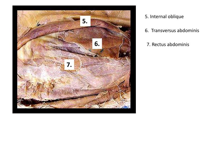 5. Internal oblique