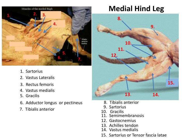 Medial Hind Leg
