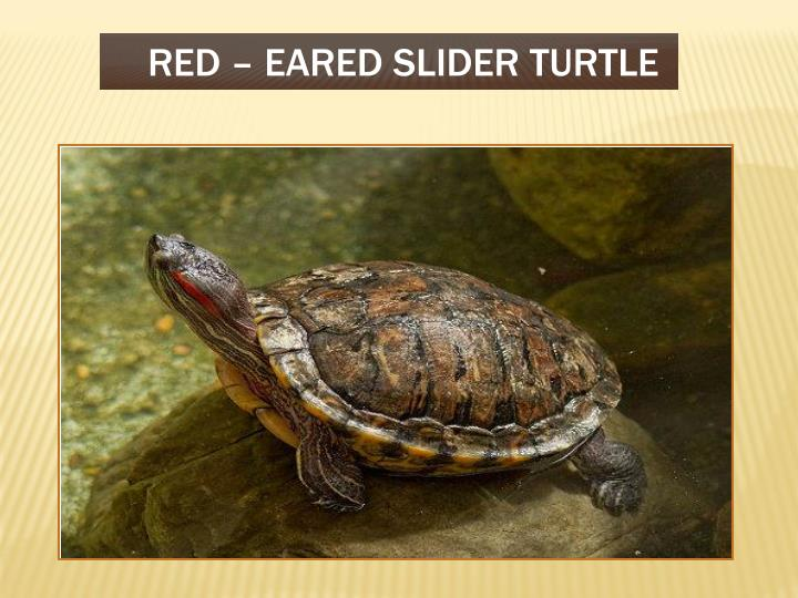 RED – EARED SLIDER TURTLE