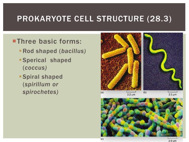 Prokaryote cell