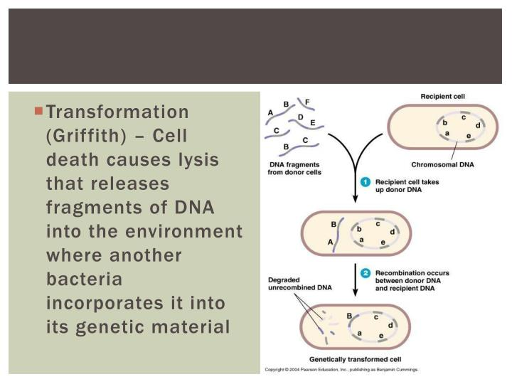 Transformation (Griffith) – Cell death causes
