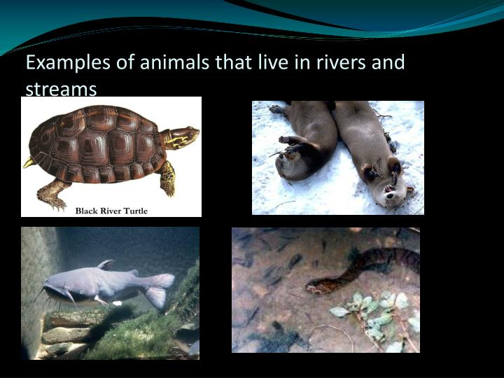 Examples of animals that live in rivers and streams