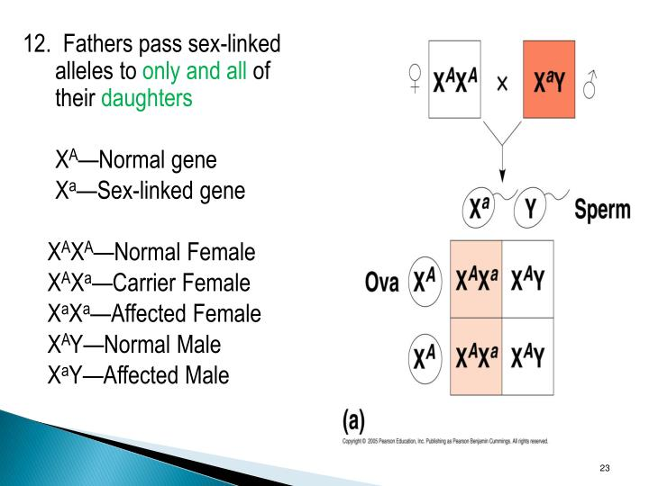 12.  Fathers pass sex-linked alleles to