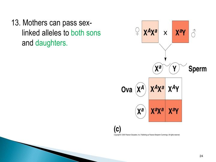 13. Mothers can pass sex-linked alleles to