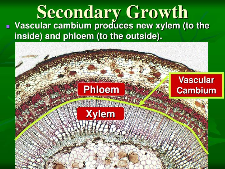 Secondary Growth