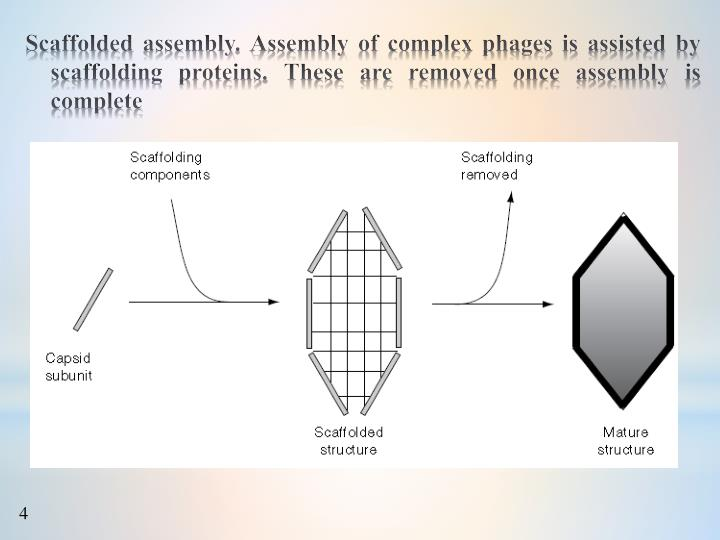 Scaffolded assembly. Assembly of complex phages is assisted by scaffolding proteins. These are removed once assembly is complete