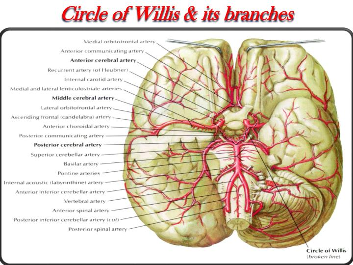 Circle of Willis & its branches