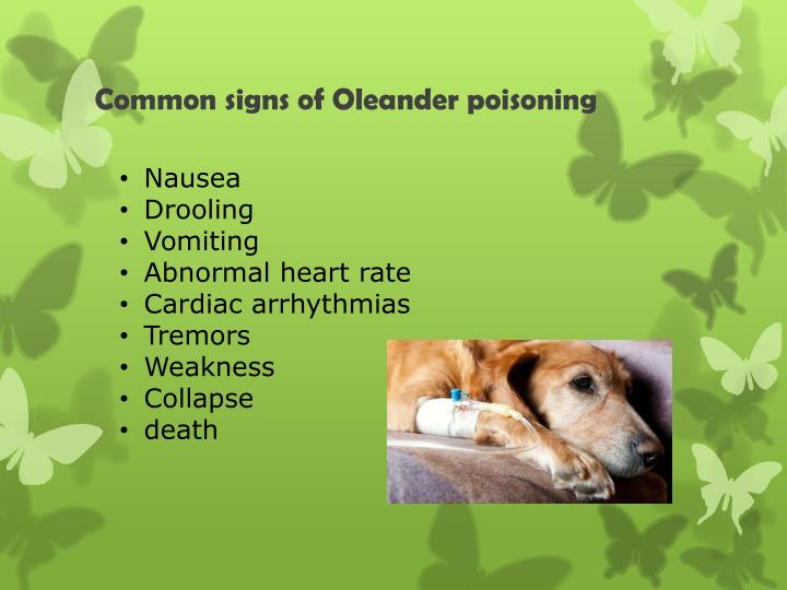 Common signs of oleander poisoning