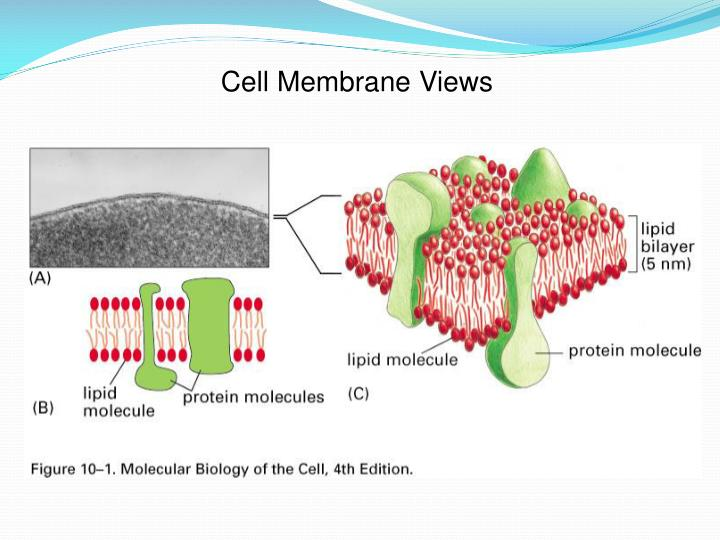 Cell Membrane Views