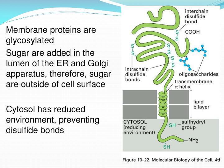 Membrane proteins are glycosylated