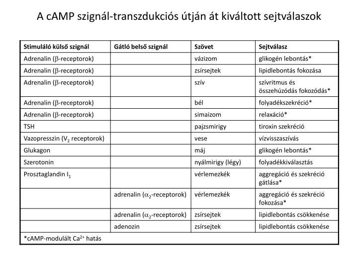 A cAMP szignál-transzdukciós útján át kiváltott sejtválaszok