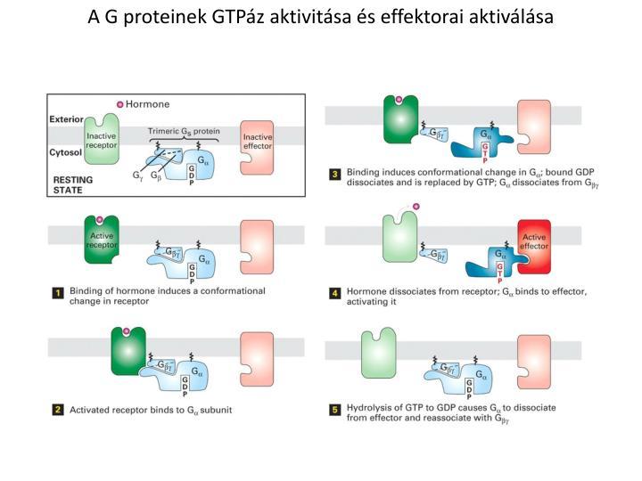A G proteinek GTPáz aktivitása és effektorai aktiválása