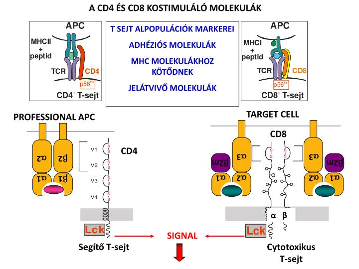A CD4 ÉS CD8 KOSTIMULÁLÓ MOLEKULÁK