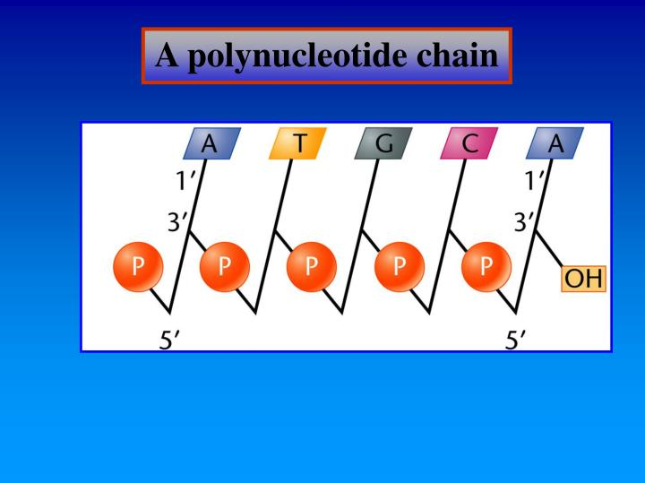 A polynucleotide chain