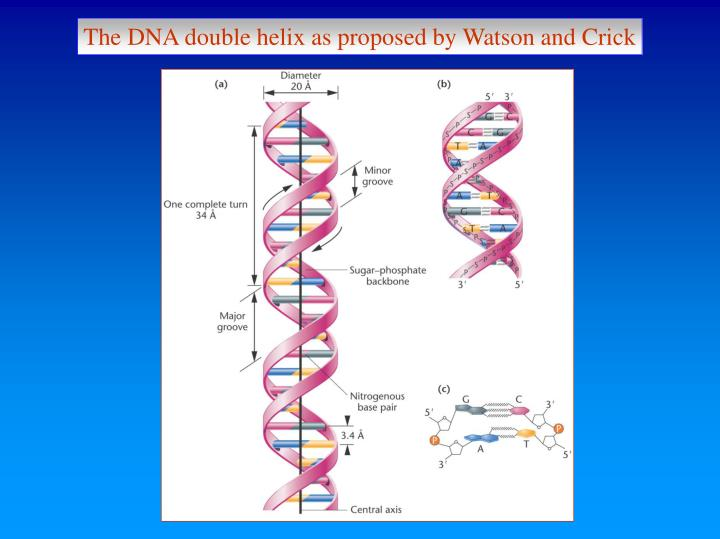 The DNA double helix as proposed by Watson and Crick
