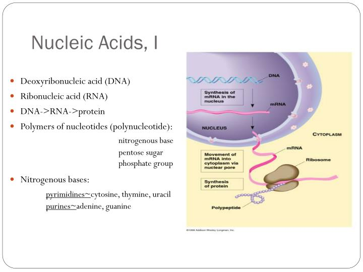 Nucleic Acids, I