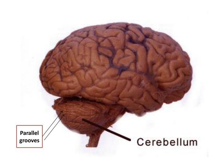 ppt - cerebellum powerpoint presentation - id:1937116, Human Body