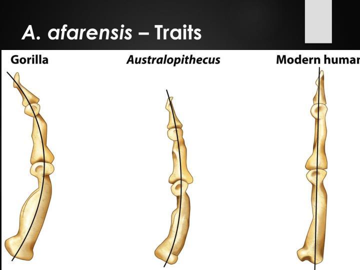 A. afarensis