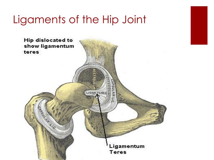 Ligaments of the Hip Joint