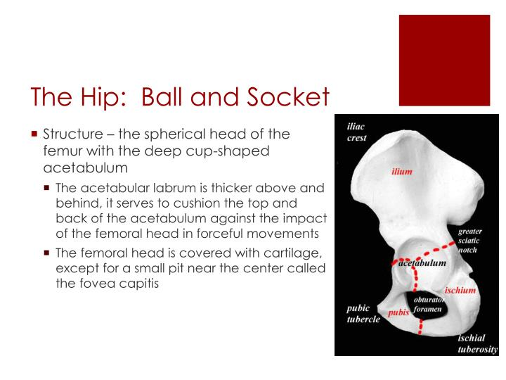 The Hip:  Ball and Socket