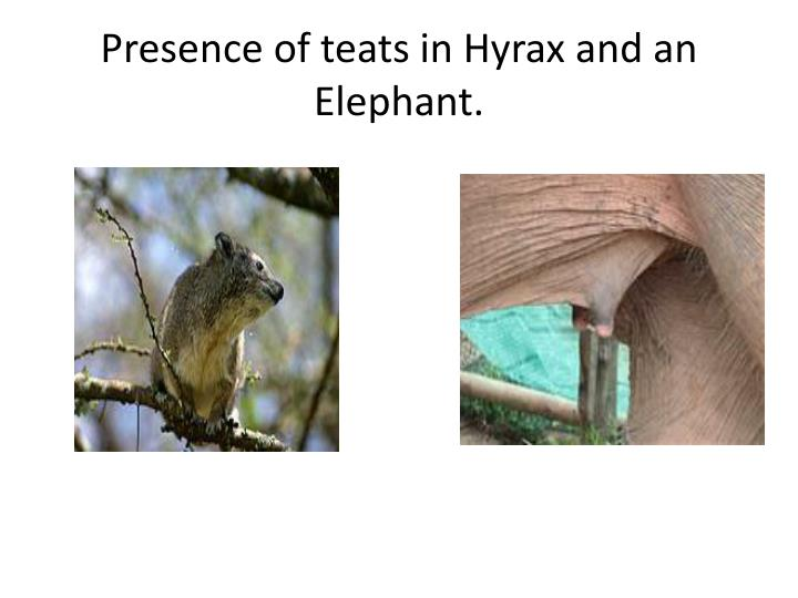 Presence of teats in Hyrax and an Elephant.