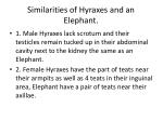 similarities of hyraxes and an elephant