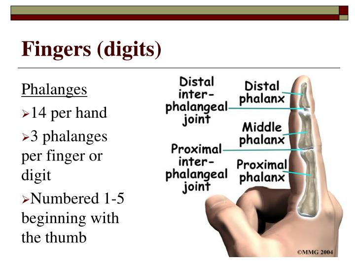 Fingers (digits)