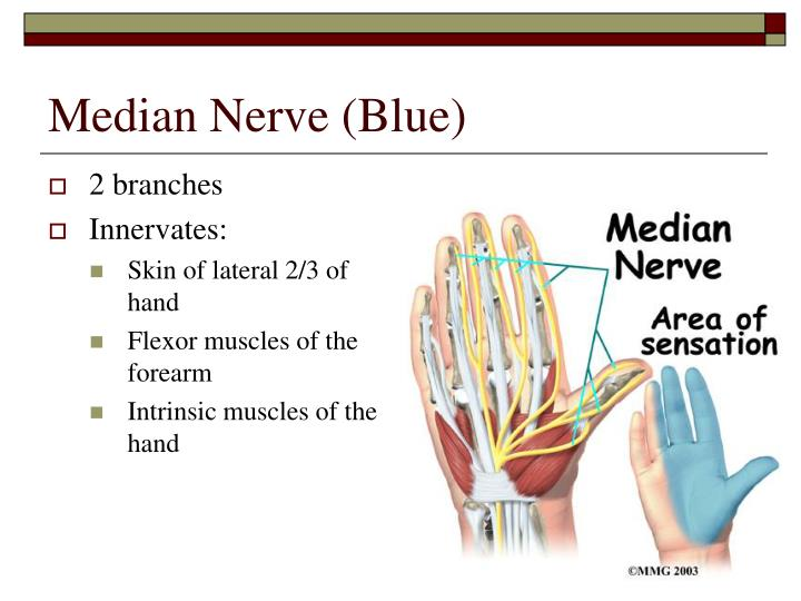 Median Nerve (Blue)