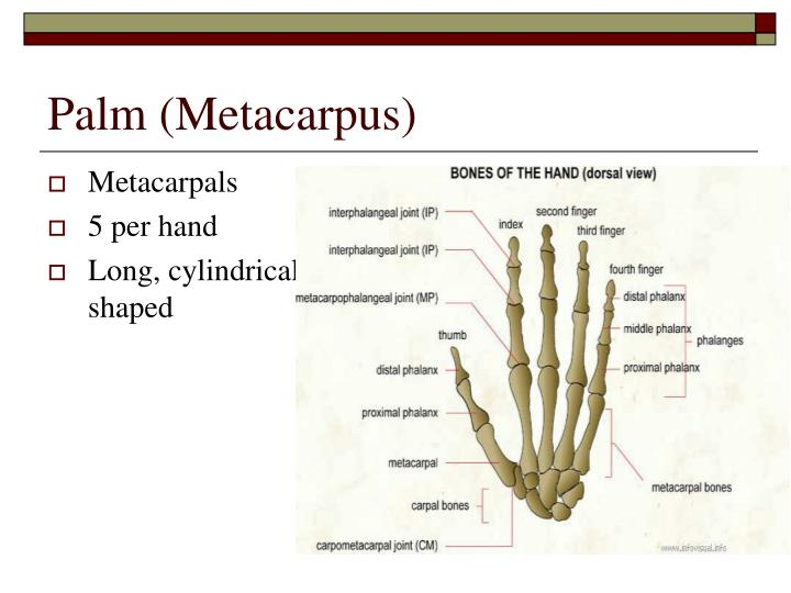 Palm (Metacarpus)
