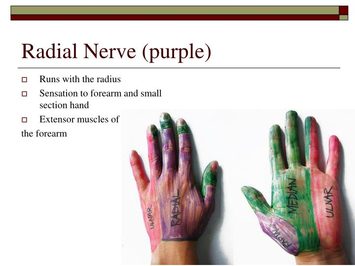 Radial Nerve (purple)