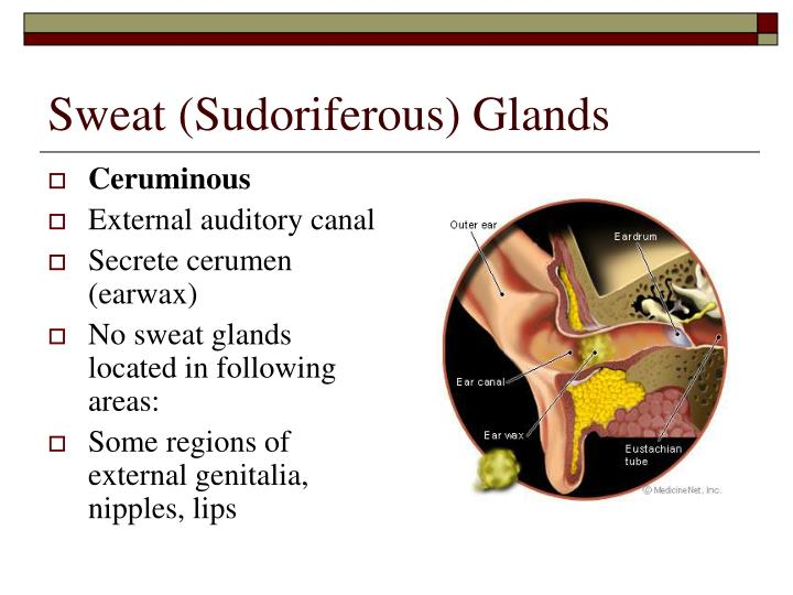 Sweat (Sudoriferous) Glands