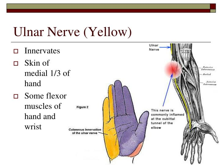 Ulnar Nerve (Yellow)